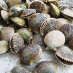 Scallops Collected in Citrus County, Fla.