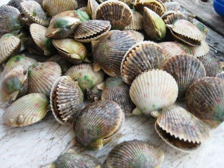 2010 Scallop Season Opens Early in Florida