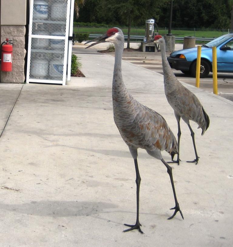 Panhandling Sandhill Cranes, ChampionsGate, Florida