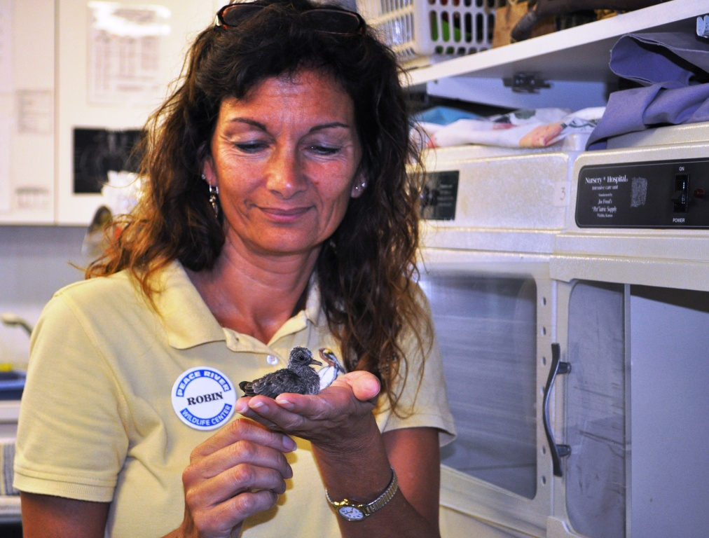Dr. Robin Jenkins Holds an Orphaned Brown Dove, Peace River Wildlife Center, Punta Gorda, Fla.