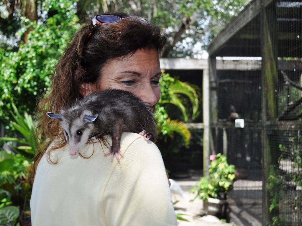 A Possum Climbs on Dr. Robin Jenkins, Peace River Wildlife Center, Punta Gorda, Fla.