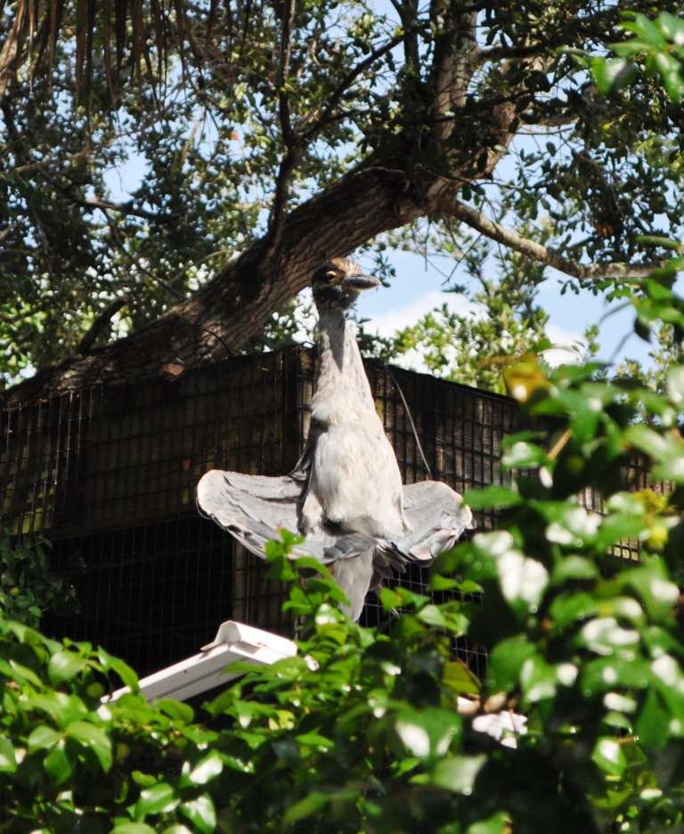 Visiting Yellow-Crowned Night Heron Dries its Wings, Peace River Wildlife Center, Punta Gorda, Fla.