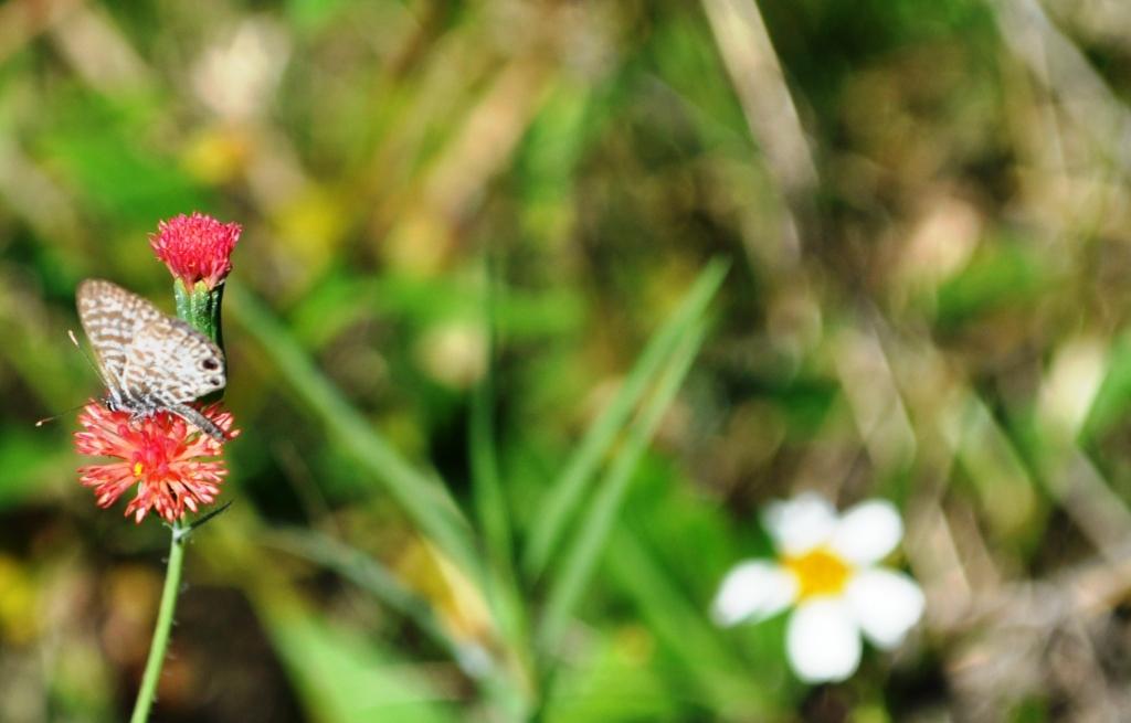 Tiny Butterfly, Wildflower Preserve, Cape Haze, Fla., Dec. 3, 2011