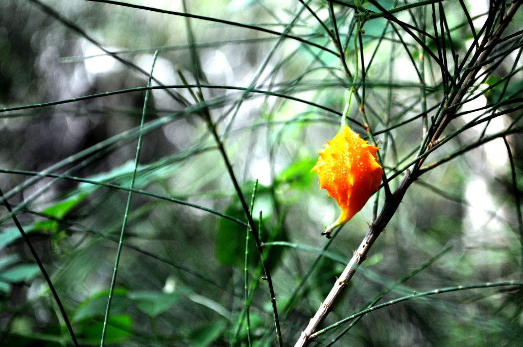 Orange, Prickly Pod, Wildflower Preserve, Cape Haze, Fla., Dec. 3, 2011