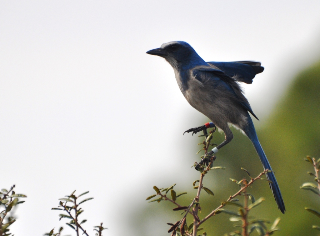 Florida Scrub-Jays Mate for Life