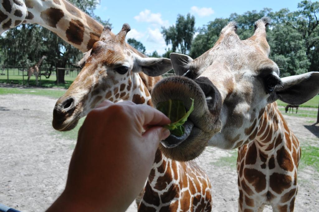 Giraffe Tongue  - Incoming! Giraffe Ranch, Dade City, Fla.