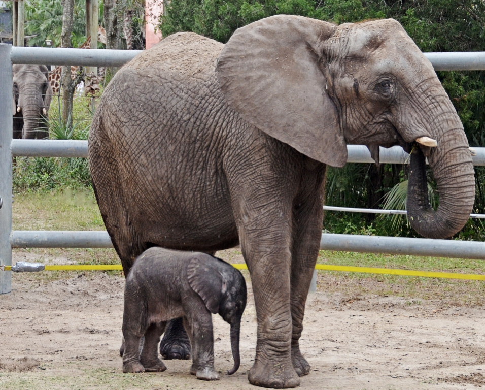 Mbali and Baby Doing Fine at Lowry Park Zoo in Tampa, Fla.