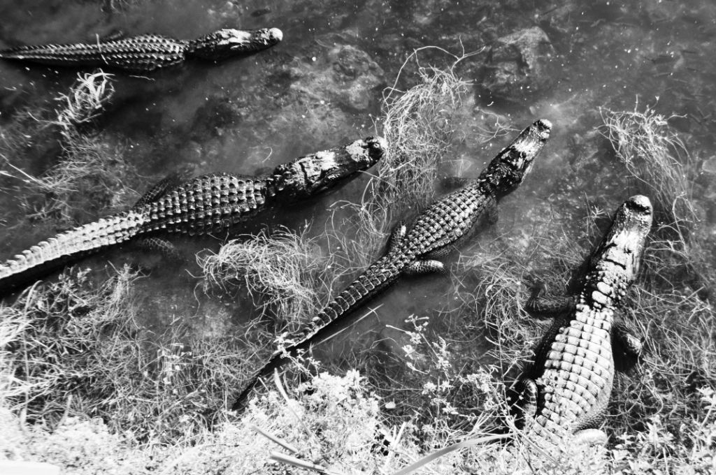 Whoa! Here a Gator, There a Gator. At the Oasis Visitor Center at the Big Cypress Preserve, Florida, Dec. 7, 2013