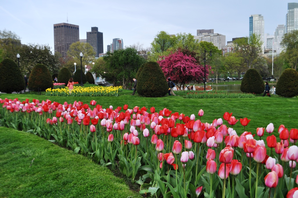 Tulips in Bloom at the Boston Public Garden, May 2014