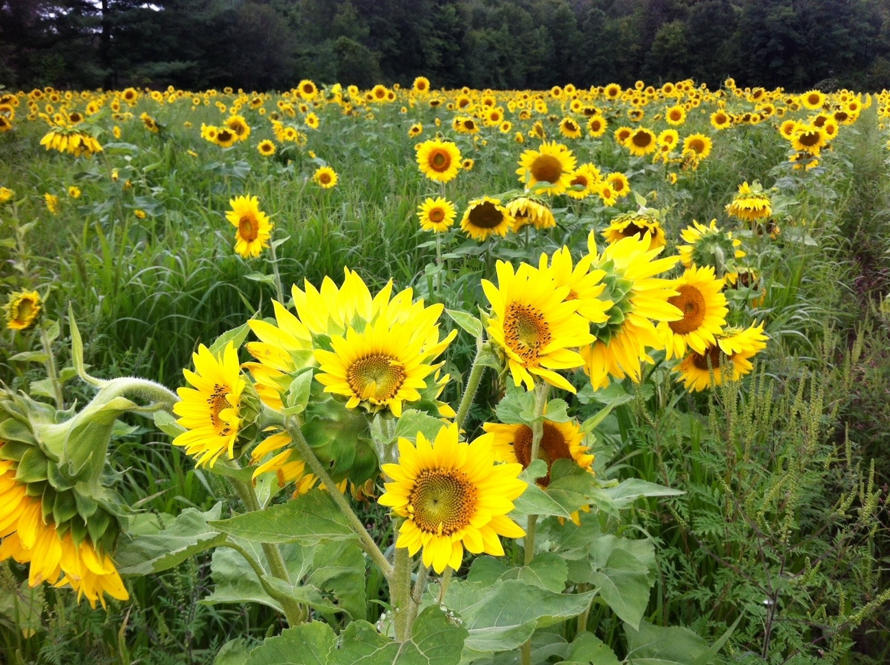 Sunflower Field at Genesee St. and Pavement Rd., Lancaster, N.Y., Aug. 2014