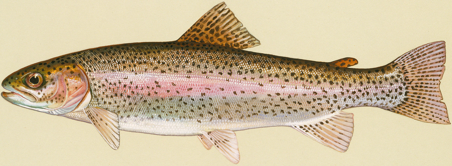 Rainbow Trout - Source: Wikipedia