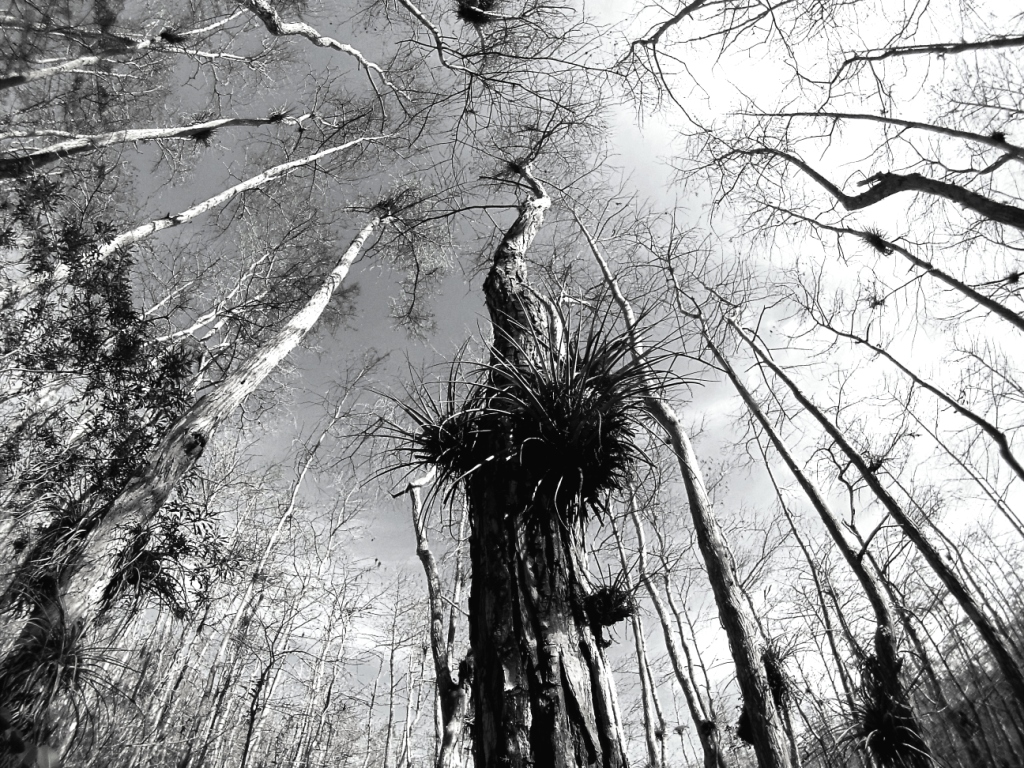 Admiring the Magic of a Bald Cypress Forest, Florida