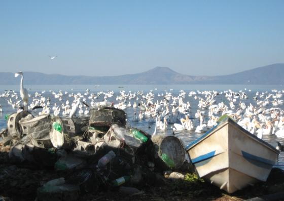White Pelicans at Lake Chapala, Mexico. Nov. 2008