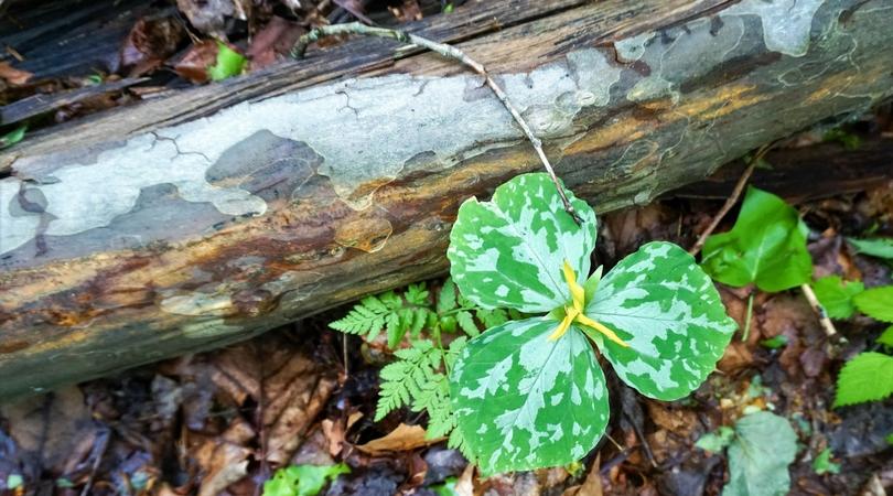 Trillium in Great Smokey Mountains National Park.