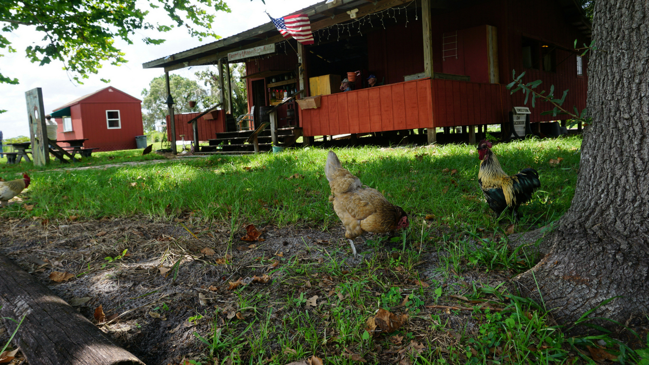 Hens Scratching at Henscratch Farms Vineyard and Winery in Lake Placid, Fla.