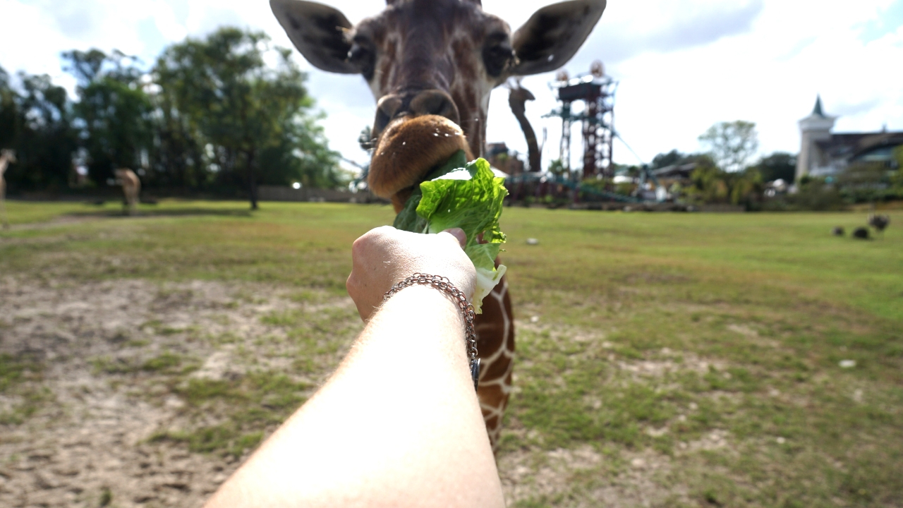 Hand-Feeding a Giraffe During the Busch Gardens Tampa Bay's Serengeti Safari® Tour, Dec. 2016