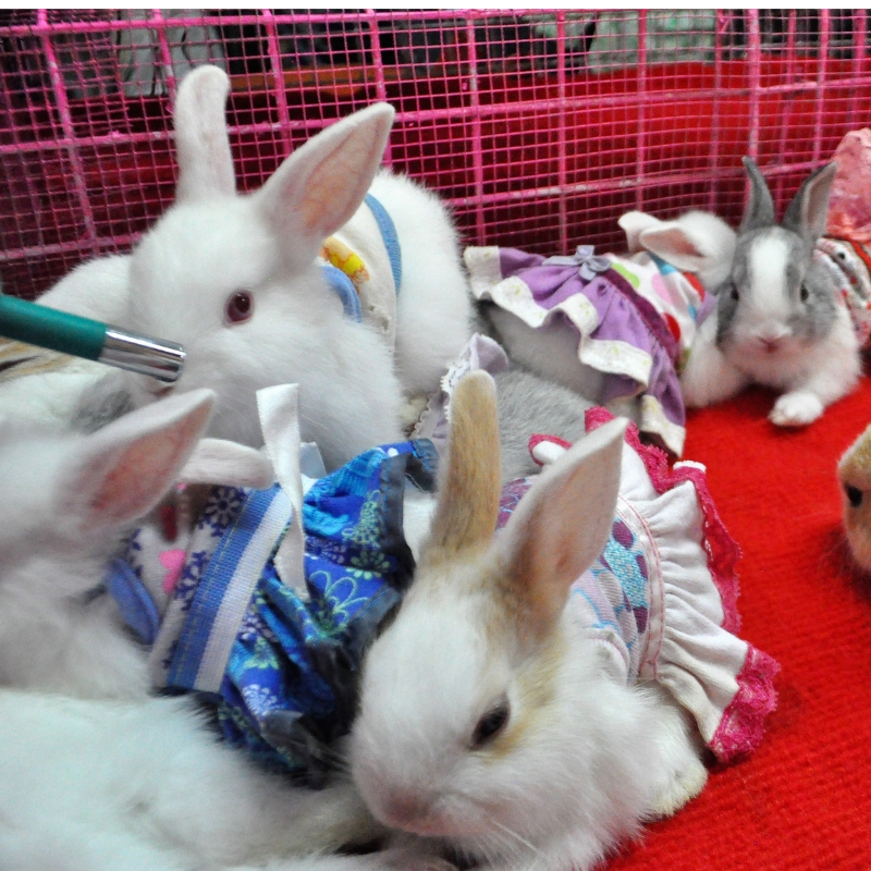 Cute Baby Bunnies in Dresses at the Chatuchak Weekend Market in Bangkok, Thailand.
