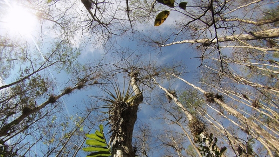 The View When Looking Up at the Trees in Big Cypress National Preserve.
