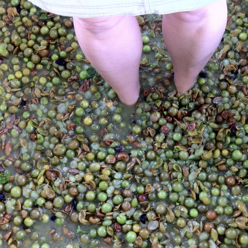 Do the Lucy During the Annual Henscratch Farms Grape Stomp in Lake Placid, Fla.