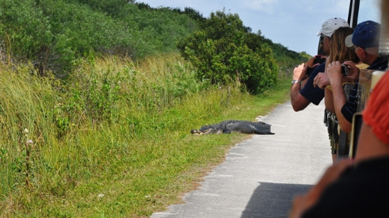 Tram Tour in Shark Valley in Everglades National Park, Fla.