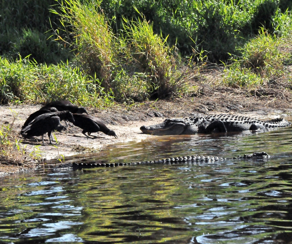 Alligators Watch Black Vultures at Deep Hole in Myakka River State Park, March 2019.