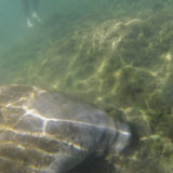 Florida Travel: Snorkeling in the Manatee Capital of the World, Crystal River