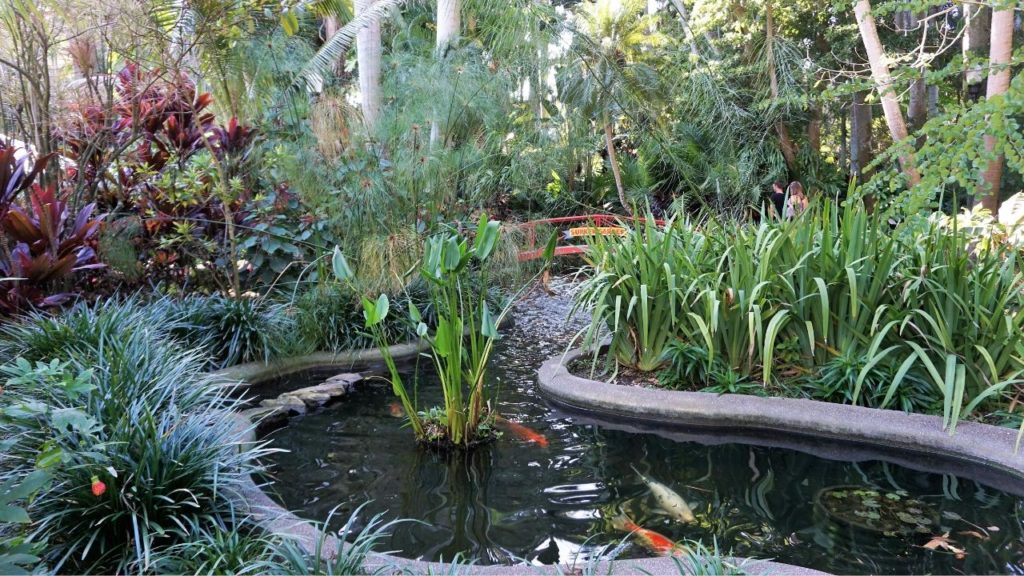 Koi in Sunken Gardens, a Paradise in the City of St. Petersburg, Fla.