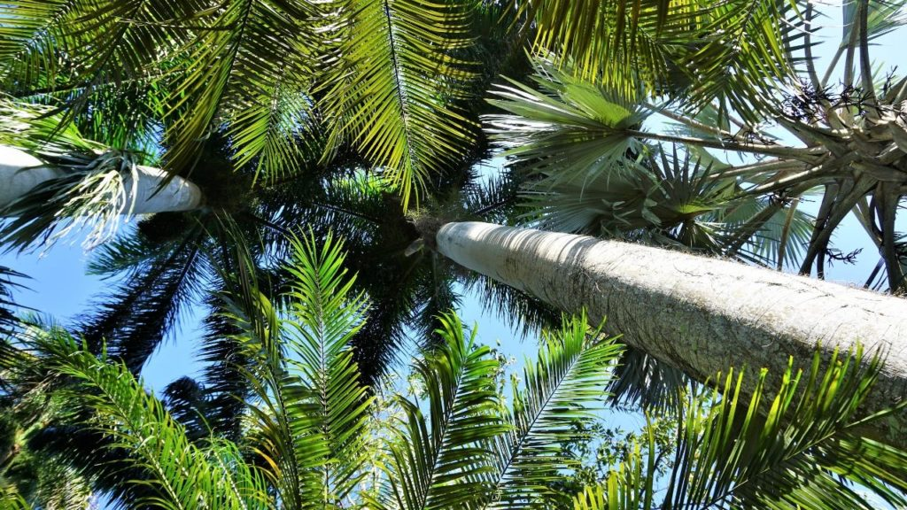 I Fell in Love with the Stunning Cuban Royal Palm Trees at Sunken Gardens in St. Petersburg, Fla.