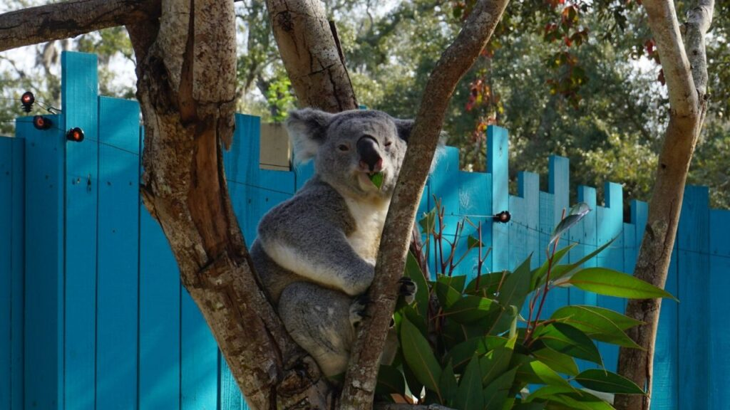 Heathcliff, the Queensland Koala at the Koala Photo Experience at ZooTampa, Chews His Eucalyptus Leaves.