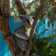 Florida Travel: Koala Encounter at ZooTampa