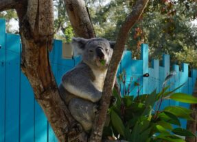 Florida Travel: Koala Encounter at ZooTampa