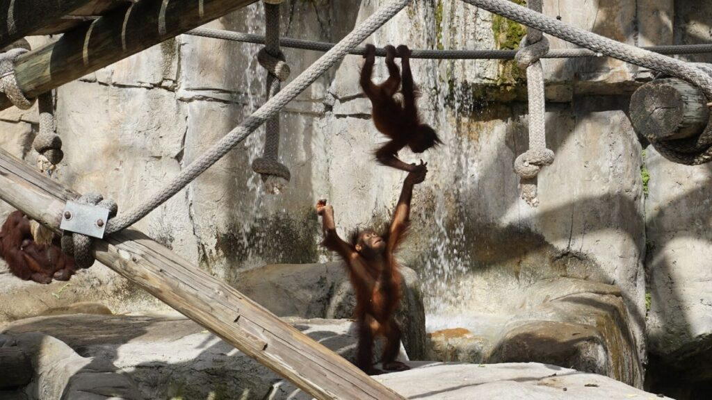 Baby Orangutans Playing at ZooTampa at Lowry Park, Jan. 2020.