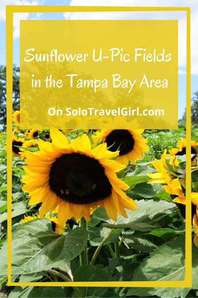 Pin This Post and Save for When You Pick Sunflowers in Florida.