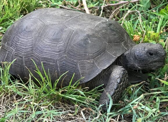 What to do When You See a Gopher Tortoise in Florida
