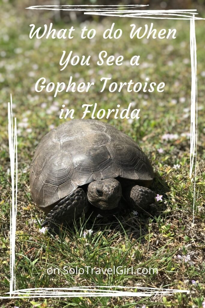 Pin this Gopher Tortoise Post