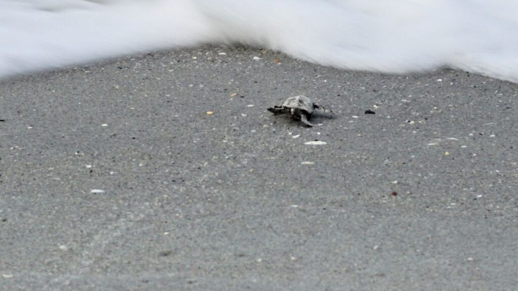 A Loggerhead Sea Turtle Hatchling Heads into the Gulf of Mexico from Englewood Beach, Fla