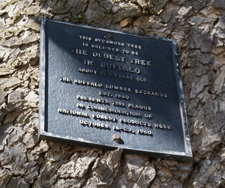 A Plaque Mounted on What's Believed to Be Buffalo's Oldest Tree.