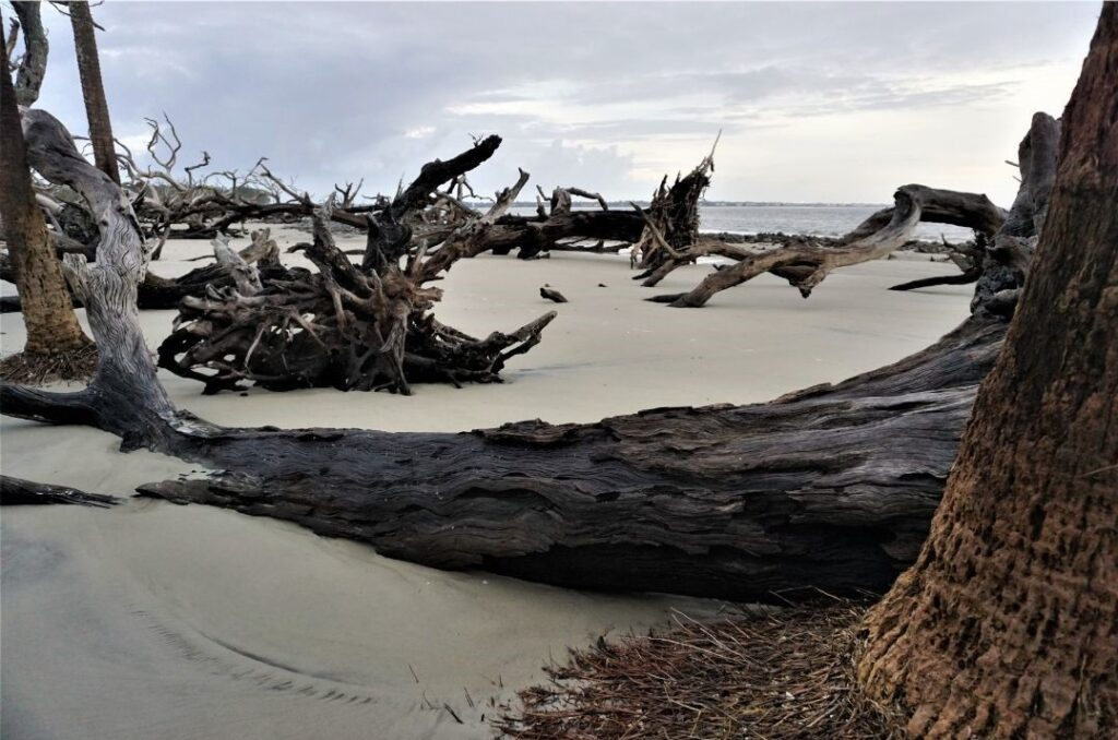 Some of the Eerily Beautiful Landscape of Driftwood Beach on Jekyll Island, Ga., Oct. 2020.