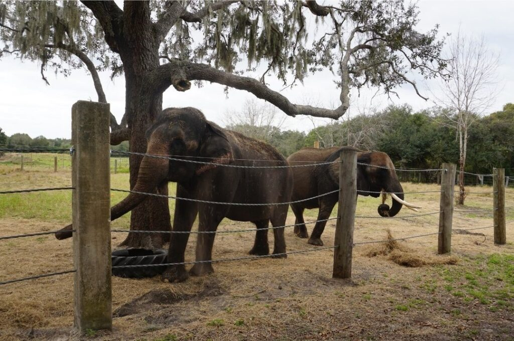 Two of the Resident Pachyderms at Myakka Elephant Ranch in East Manatee County, Fla.