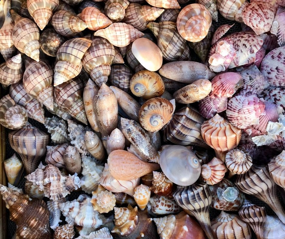 The Gorgeous Shells I Collected on Kice Island with Treasure Seekers Shell Tours, Feb. 2021.