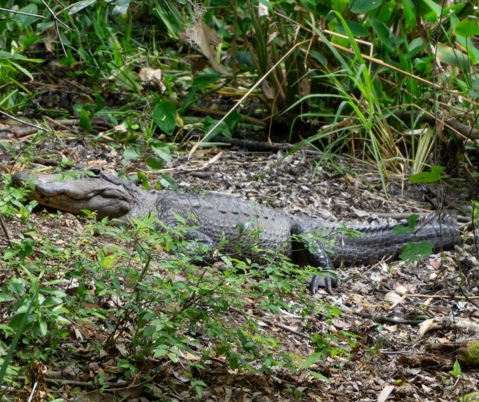 Alligator Seen from the Fern Garden Trail in Highlands Hammock State Park, Sebring, Fla.