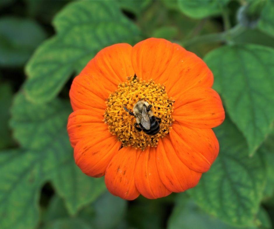 Honeybee on a Flower at Karma Acres Farm in Callahan, Fla.