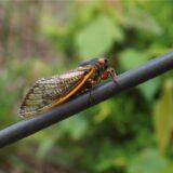 My Excellent Adventure Finding Brood X Cicadas in North Georgia